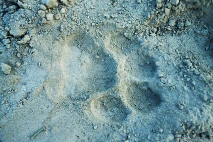Tiger-Paw-Print-in-Soft-Sand-Kazirnaga